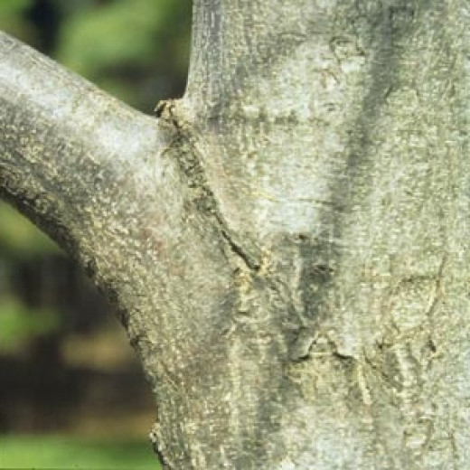 This shows the collar area in the branch to trunk junction. Prune above the collar. ensuring that it is not damaged.