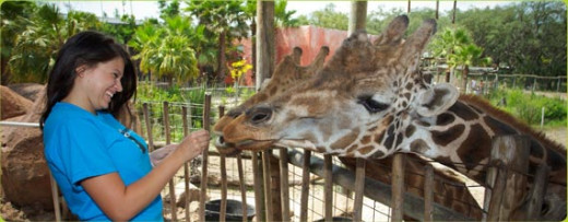 Feed the giraffes at Lowry Park Zoo