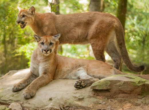 Cougars at the Nashville Zoo