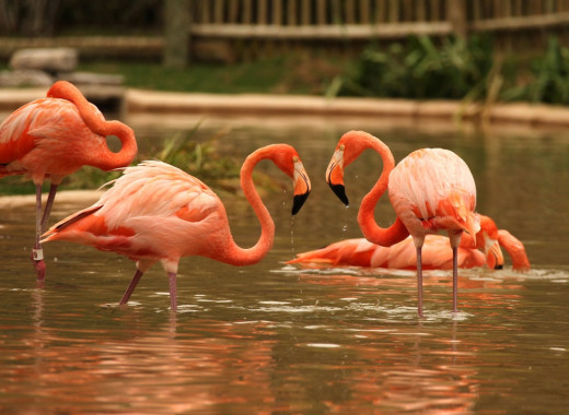 Flamingos at Nashville Zoo