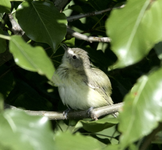 "Fledgling Bell's Vireo ""What Will Become of Me?"""