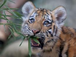 Zoya. Tiger at the Indianapolis Zoo