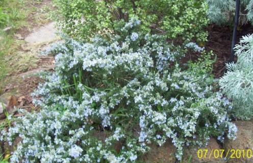 Blue rosemary.