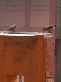 A Pleasant Guest on my Terrace : The House Sparrow!