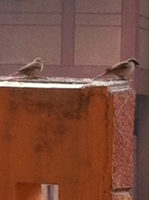 Sparrows in my balcony--A rare sight!