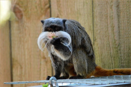 Tamarin monkey with 'Emperor Wilhelm' moustache