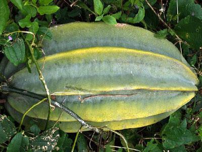 A pumpkin fruit