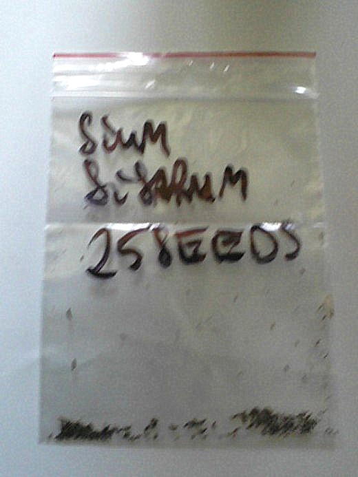 The Polish seller labeled this small plastic seed envelope with skirret's formal Latin name.