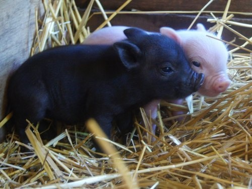 I like these pigs so much better than men who act like pigs.