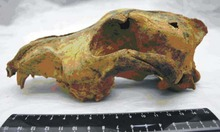 33,000 old canine skull