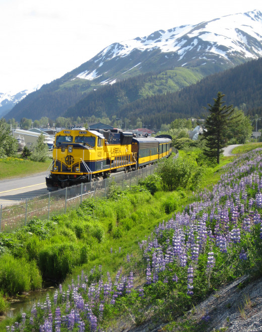 June lupines and the locomotive of the Coastal Classic train.