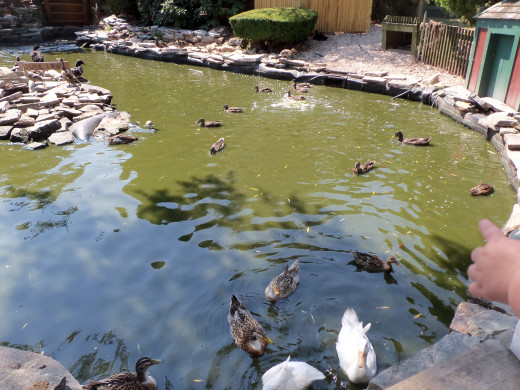 See ducks swimming happily along.