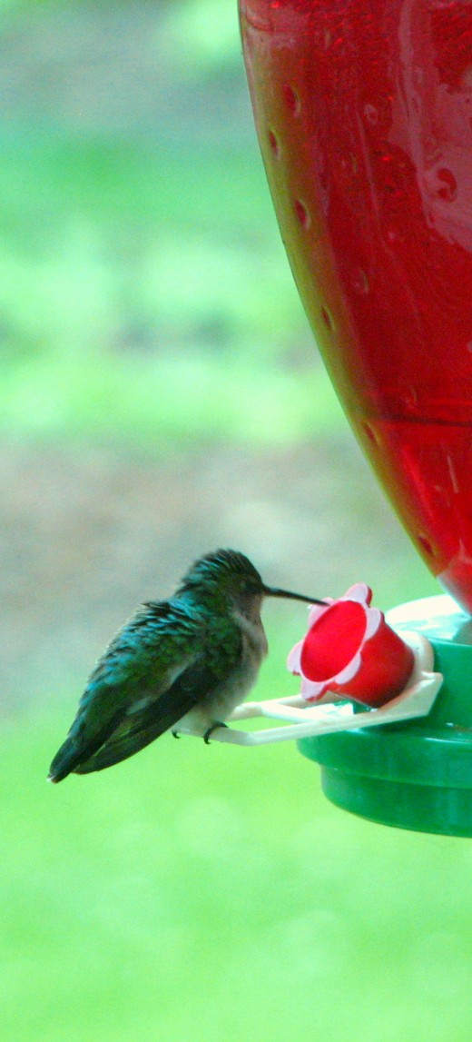This hummingbird flew in from the rain to grab a bite to eat