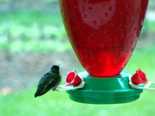 The rain in the morning did not keep the hummingbird from filling his tiny belly