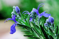 All About Rosemary: The Unforgettable Herb