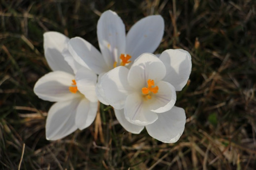 March flower crocus