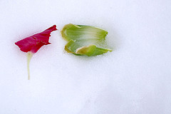 More Petals in the snow