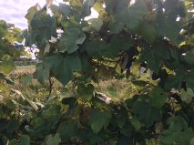A Picture of my grape vineyard the table grapes