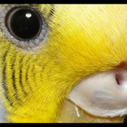 Weird and wonderful facts from the world of budgies