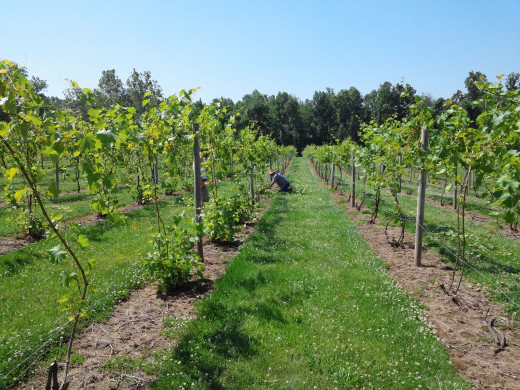 Jim Butler tending to his large collection of grape vines.