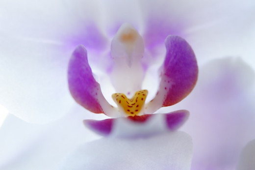 The inner beauty of an orchid