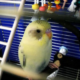 See how the barring on this baby budgie extends down towards its beak.