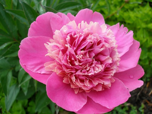 My old-fashioned Pink Peony