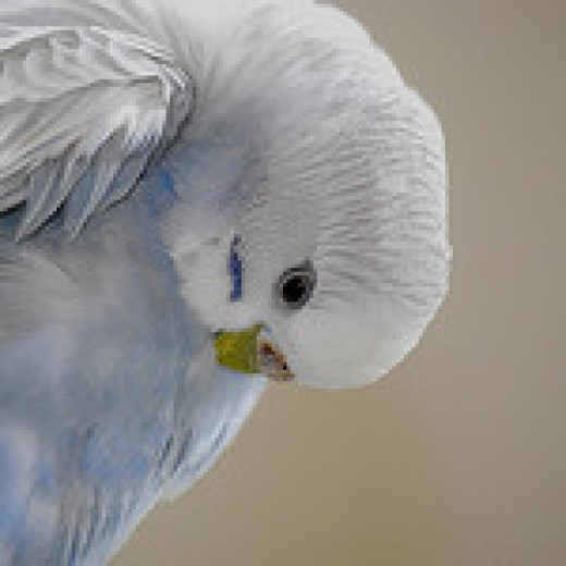 Budgies love to preen their feathers.