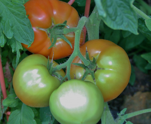 Lots of questions on Ask an Expert are about tomatoes. Before asking yours, be sure to scroll through the answered questions.