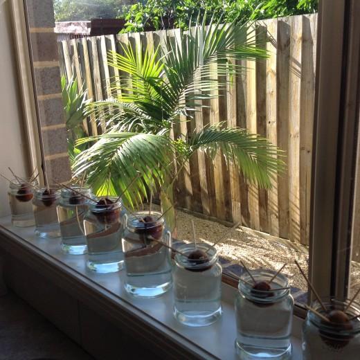 Group of avocado seeds on my windowsill