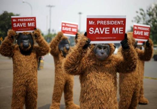 Protesting orangutans