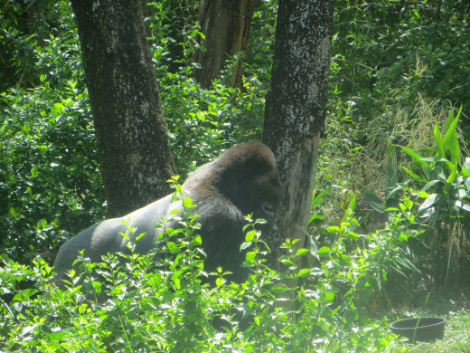 I am amazed at the majesty of the silverback.  He looks like he's keeping an eye on me.