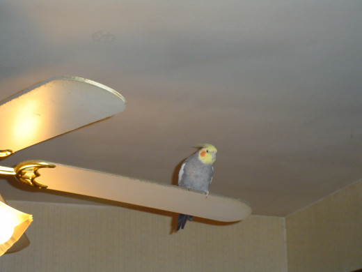 A perch for the cockatiel.
