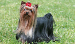 Dog Profile-Yorkshire Terrier