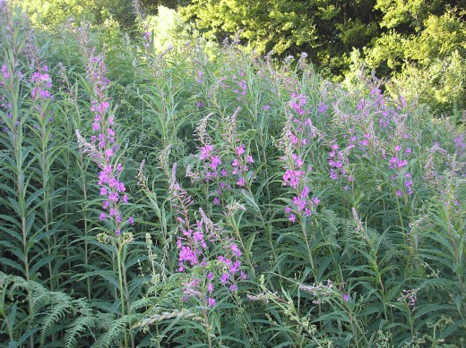 Also known as Fireweed this plant has edible leaves.