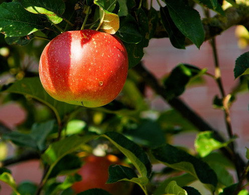 "Apple has been widely used to ""represent"" the tree of knowledge of good and evil.It was not clearly stated in the Bible what kind of tree it is."