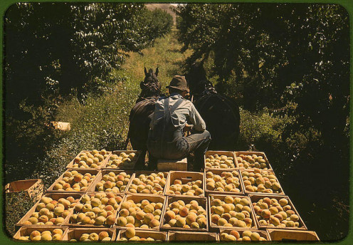 Delta, Colorado, 1940, a man hauls peaches to market.