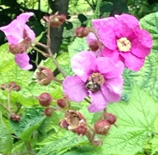 Purple Flowering Raspberry at the Chicago Botanic Garden