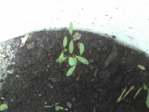 A tiny bit of hope at the edge of a planter, where I added some seeds from last year's skirret?