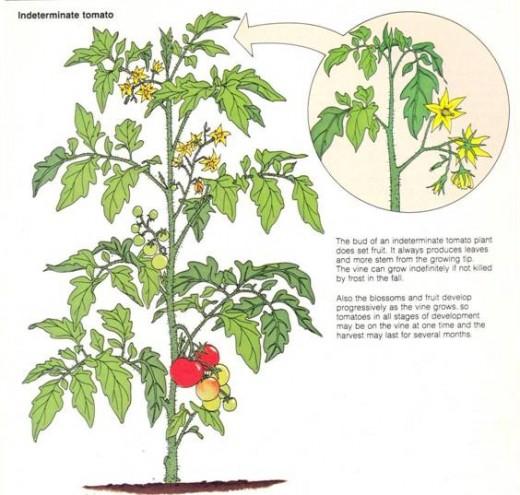 Tomatoes: Determinate vs. Indeterminate? 1251855_f520