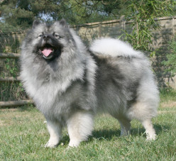 Dog Profile-Keeshond