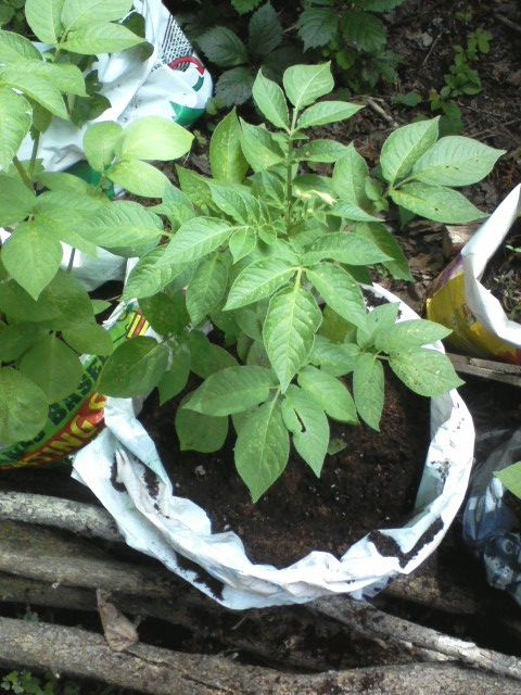 It took about a couple minutes per bag to unroll the rim, then tuck compost and soil around each potato vine, giving the future tubers more room to grow.