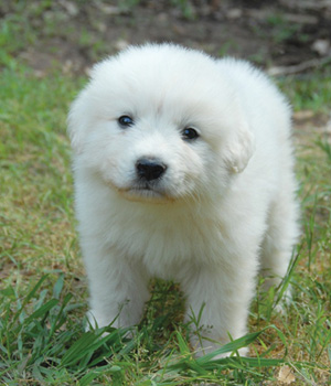 Great Pyrenee-Puppy