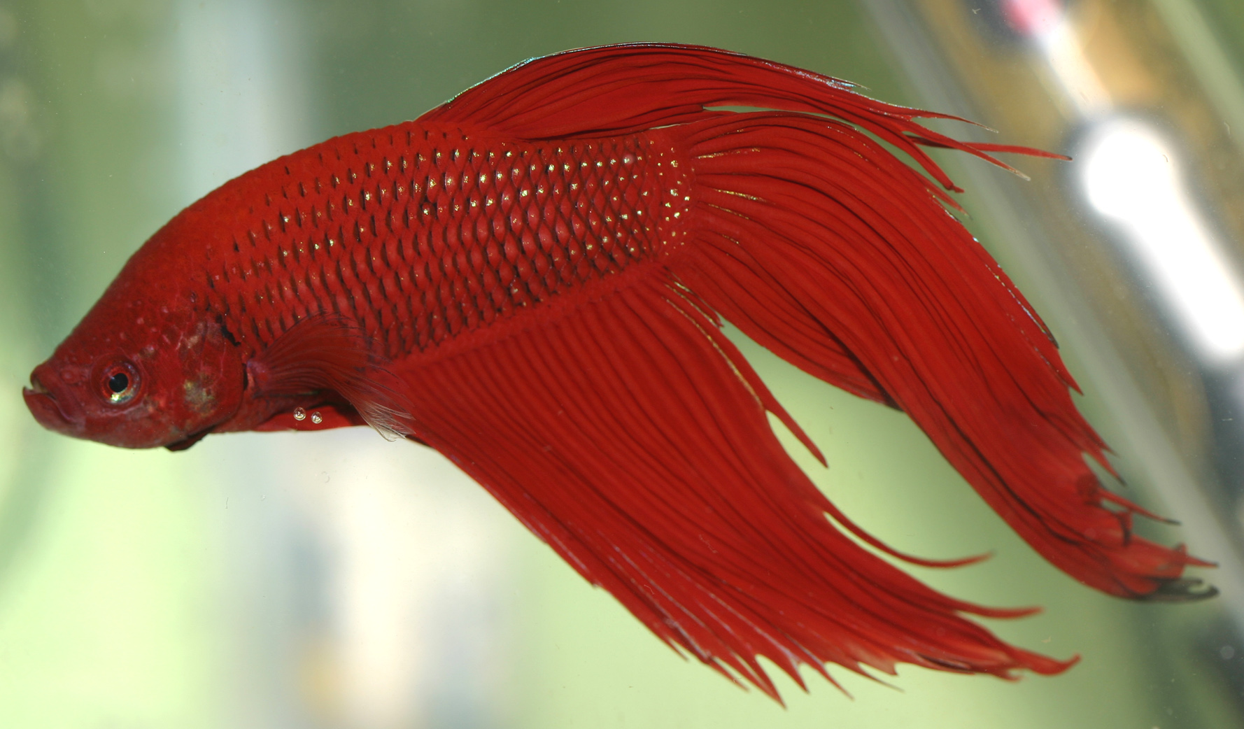Bettas for Beginners | HubPages