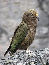 The Kea is actually a Parrot