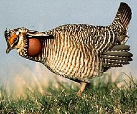 Grouse or Prairie chicken
