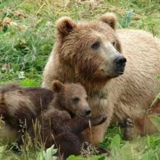 Brown bear in Bulgaria