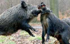 Dangerous Animals in Africa. Buffalos, elephants, hippos' and wild boars can kill easily.