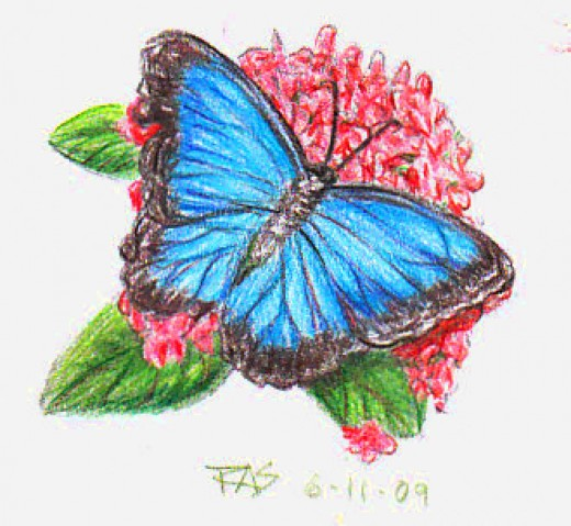 Butterfly Colour Pencil Drawing
