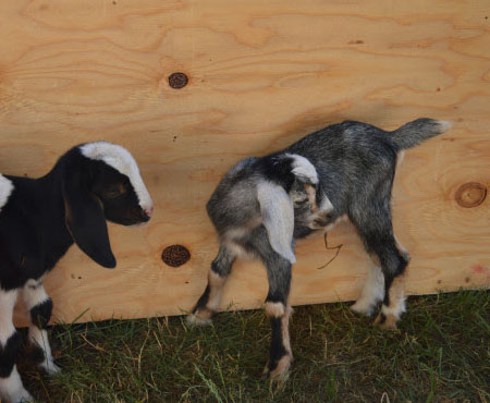 2 baby goats - kids